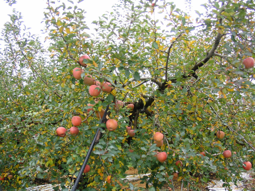 http://www.rei.org/JPN/Nagano/NaganoArea/Smalls/IMG_7613-apple-tree.JPG